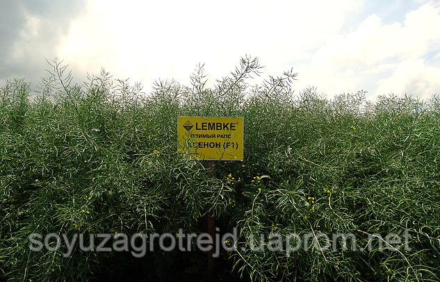 Ксенон семена озимого рапса Lembke