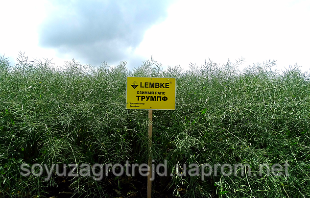 Триумпф семена озимого рапса Lembke