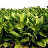 Семена табака Табак курительный Вирджиния 1 гр