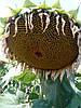 Семена подсолнечника Рими (экстра)