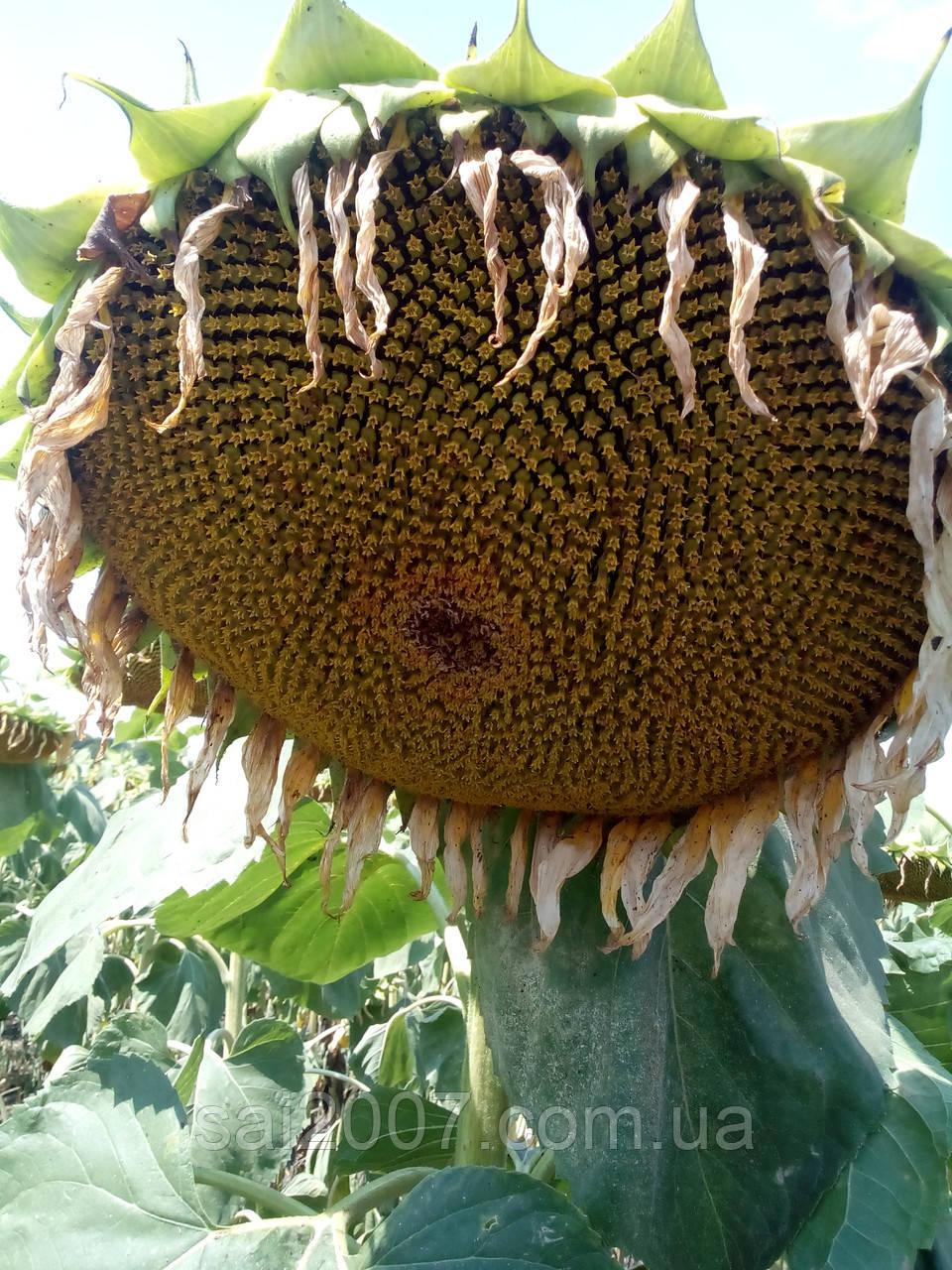 Семена подсолнечника Рими под Евролайтинг - Союз Агро Инвест 2007 в Днепропетровской области