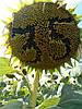 Семена подсолнечника НС Имисан ( Евролайтнинг ), фото 2