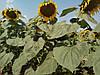 Семена подсолнечника Днестр