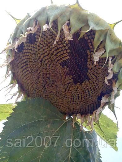 Семена подсолнечника Дунай