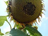 Семена подсолнечника НС Сумо 2017(под гранстар)