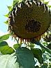 Семена подсолнечника НС Сумо 2017(под гранстар), фото 2