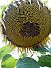 Семена подсолнечника НС Сумо 2017(под гранстар), фото 3