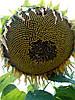Семена подсолнечника НС Сумо 2017(под гранстар), фото 4