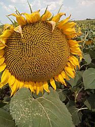 Семена подсолнечника нс-х-6042