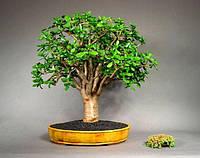 ТОЛСТЯНКА или ДЕНЕЖНОЕ ДЕРЕВО - 1 молодое растение 10-12см., фото 1