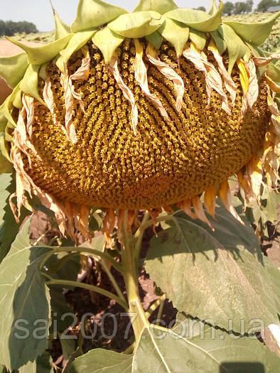 Семена подсолнечника Каньон