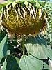 Семена подсолнечника Титаник