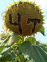 Семена подсолнечника Драган