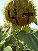 Семена подсолнечника Драган, фото 2
