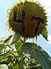 Семена подсолнечника Драган, фото 3