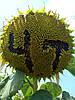 Семена подсолнечника Драган, фото 4