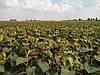 Семена подсолнечника Хортица, фото 2