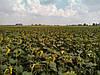 Семена подсолнечника Хортица, фото 3