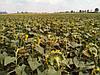 Семена подсолнечника Хортица, фото 4