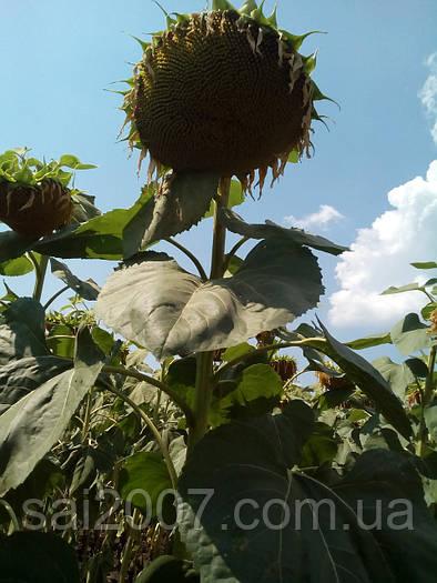 Семена подсолнечника Гена засухостойкий гибрид