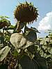 Семена подсолнечника Гена засухостойкий гибрид, фото 2