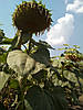Семена подсолнечника Гена засухостойкий гибрид, фото 3