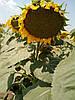 Насіння соняшнику Конгрес, фото 2