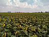Семена подсолнечника Конгресс, фото 4