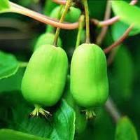 Растение актинидия лиана - описание, свойства, ягода