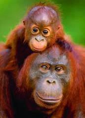Красочные пазлы 'Орангутанг с детенышем, 100 элементов