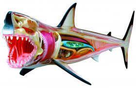 Анатомическая модель Большая белая акула 4D Master 26111