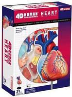 Анатомическая модель человека  'Сердце человека', 4D Master 26052