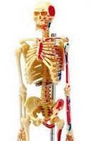 Анатомическая модель человека  'Скелет человека', 4D Master 26059