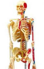 Анатомическая модель человека Скелет человека  4D Master 26059