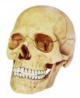 Анатомическая модель человека Череп человека  4D Master 26086