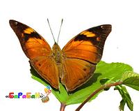 Бабочка Сухой лист