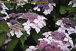 Гортензия крупнолистная сератта Grayswood(Грейс вуд) горш.1л, фото 5