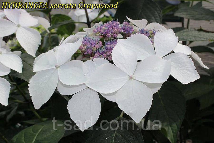 Гортензия крупнолистная сератта Grayswood(Грейс вуд) горш.1л