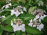 Гортензия крупнолистная сератта Grayswood(Грейс вуд) горш.1л, фото 8