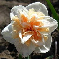 """Нарцисс Махровый """"White Lion"""" белый с оранжевой серединой густо махровые"""