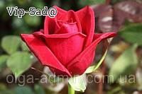 Розы - Чайно-гибридные сорт  Черри Лав саженцы декоративных  цветов