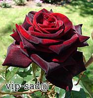 Розы - Чайно-гибридные сорт  Блэк Мейджик. саженцы цветов / декоративные растения