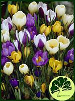 Крокусы ботанические Mix (10шт)