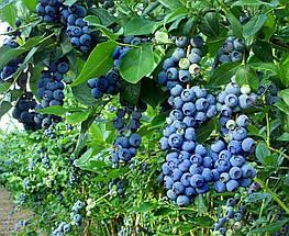 Голубика Торо 2 года Саженцы в горшках 1.5л, фото 2
