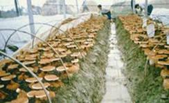 Саме гриби зараз заявляють себе,як найефективніше засіб від раку!