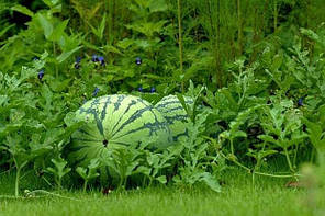 Как вырастить арбуз на даче