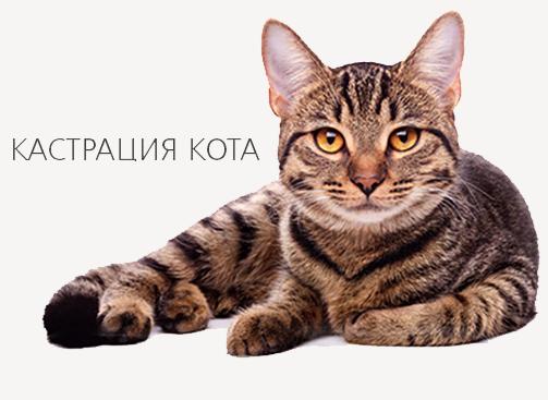 Кастрировать кота киеве
