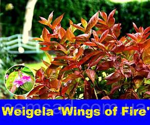 Вейгела цветущая Винг оф Фаер \ Weigela florida 'Wings of Fire' ( саженцы), фото 2