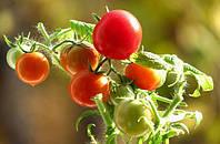 Обвал цен на рынке тепличных томатов