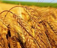 Пшеница Озимая М 1 репродукция